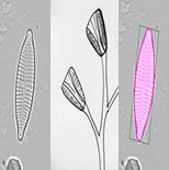 Temporary Diatoms